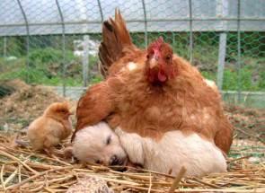 Chicken Puppy Adoption