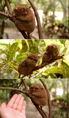 Tarsiers: Disgusted by You