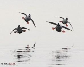 Ducks, flying