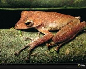 Tree Frog, Pacific Islands