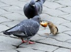Pigeons are real jerks