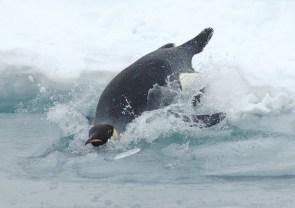 Diving Emperor Penguin
