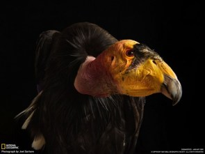 Near-Extinct California Condor