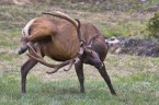 why do male elk have long antlers??