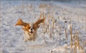 Flying Snow Dog