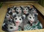 Box O' Baby Possums