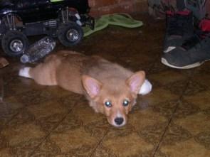 My corgi pup