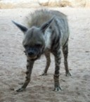Pissed off hyena