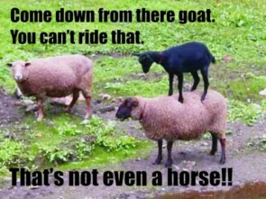 ts ts u silly goat