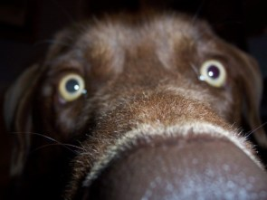 Puppy Nose Close-up