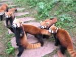 red panda bears.jpg