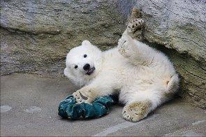 Raunchy Polar Bear