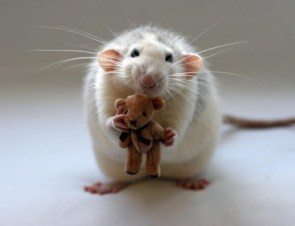 Rat with Teddy Bear