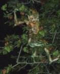 Goblin Of Peru