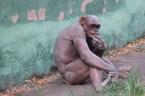 Hairless Chimp