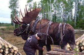 Moose at work