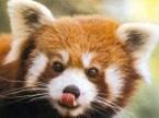 Red Panda – Close Up