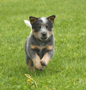 Queensland Blue Heeler Pup