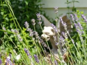 Gargoyles and Lavender