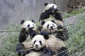Pandas Eating Bamboo Buffet