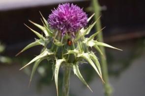 Thistle and Ladybug
