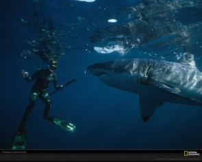 National Geographic: Great White Shark And Diver