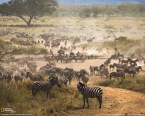National Geographic: Zebra Migration Tanzania