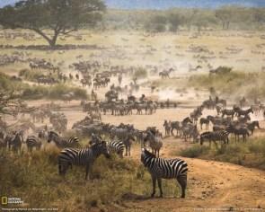 National Geographic: Zebra Migration Tanzania
