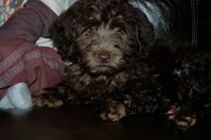 Murphy as a puppy