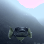 Julian Rocks Dive - Porcupinefish