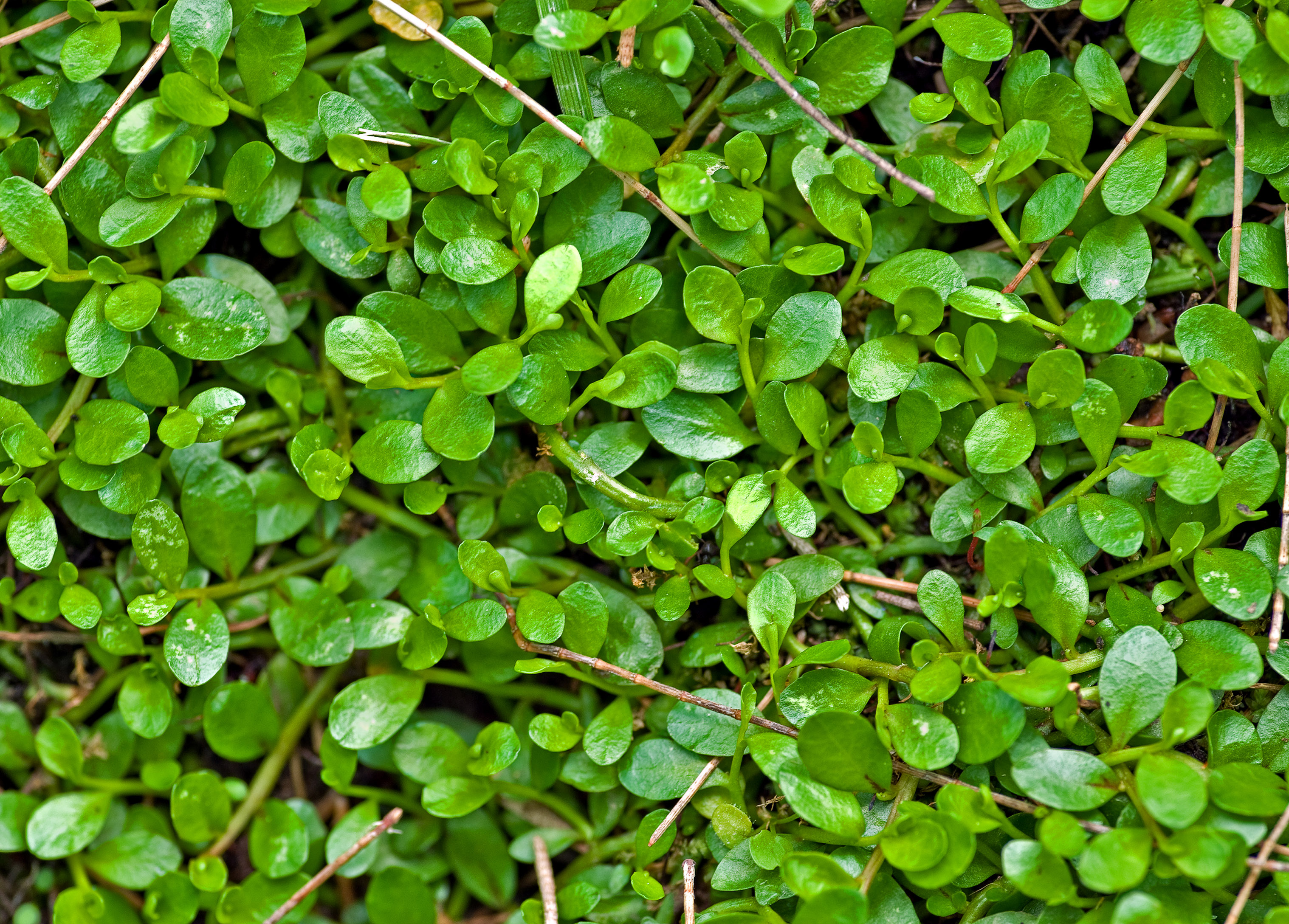 Creeper Wallpaper Hd Green Plant Background Texture Image Www Myfreetextures