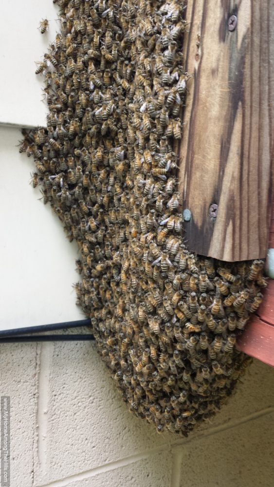 Nice swarm on the side of a house