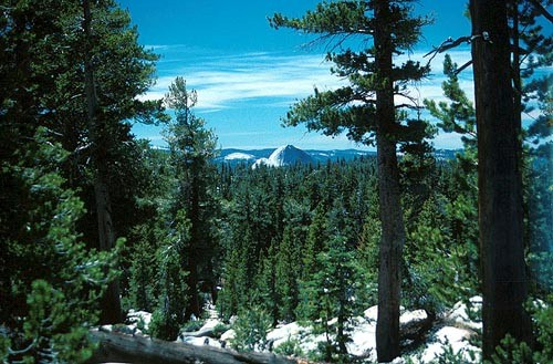Yosemite Falls Wallpaper 10 Interesting Coniferous Forest Facts My Interesting Facts