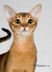 Abyssinian breed cat