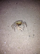 righthanded crab