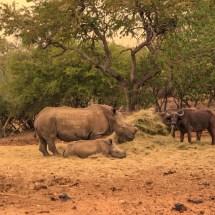 rhinos $ bufalos