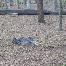 Blackbutt Reserve kangaroo lazy