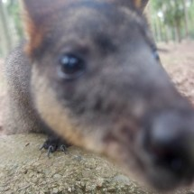 Blackbutt Reserve kangeroo close up