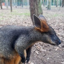 Blackbutt Reserve kangeroo close