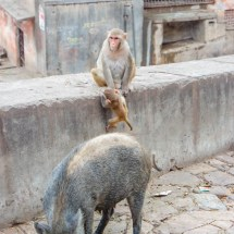 Jaipur-monkey mom, baby and pig