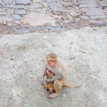 Jaipur-monkey mom protects