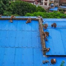 Kathmandu-monkey roof