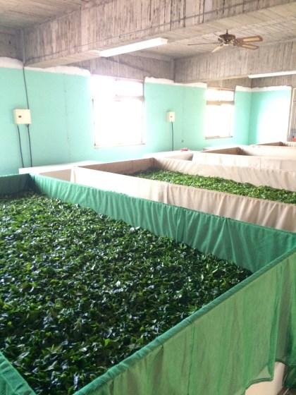 Fresh tea leaves