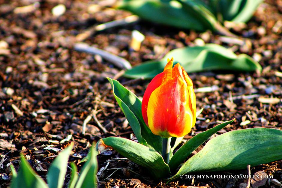 Tulip in Arlington Cemetery
