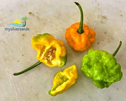 Gallant Scotch Bonnet Peppers Where Is A Scotch Bonnet Not A Pepper X Scoville Level Pepper X Scoville Scale