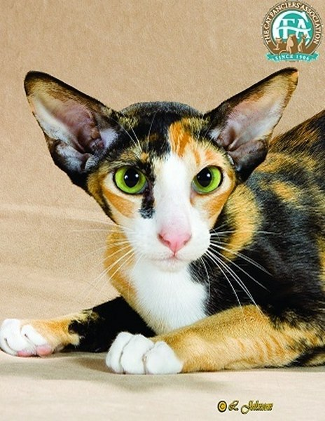 The Wonderful World of Pinterest- June 2013 - My So Called ... Oriental Cat Lifespan