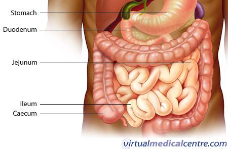 Gastrointestinal system (human digestive system) anatomy myVMC