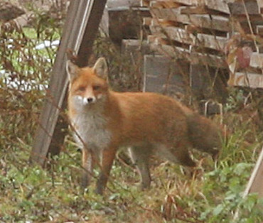 Fuchsvergertweb