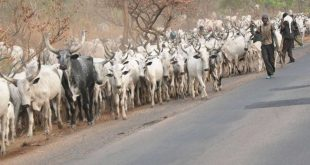 Herdsmen and their cattle are known to roam anywhere in Nigeria, destroying crops in farms