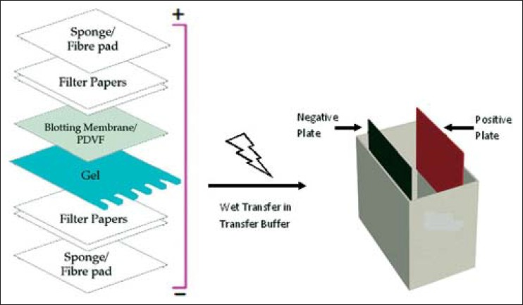 Western blot Technique, theory, and trouble shooting Mahmood T